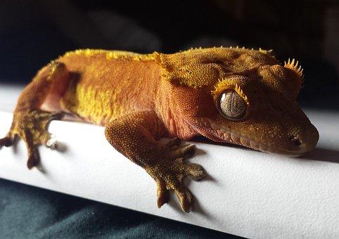 Gecko, Crested, Red, Orange, Lizard, Reptile, Pet