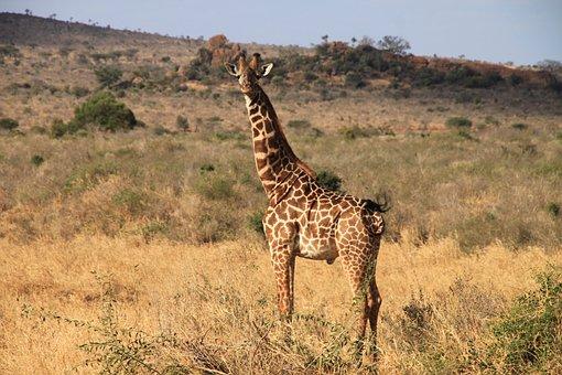Giraffe, Kenya, Tsavo West