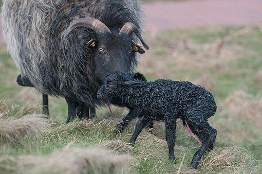 Grey Horned Heidschnucke, Lamb, Creating, Mother
