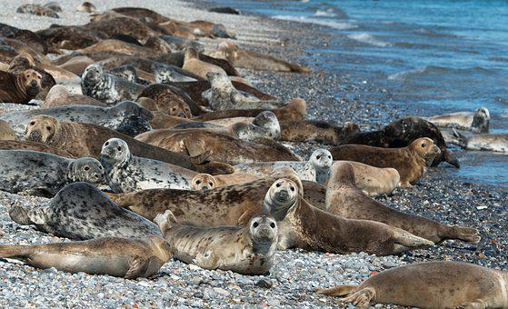 Grey Seals, Colony, Helgoland, Animals, Group, Concerns