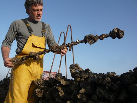Man, Oyster, Fisher, Fisherman, Collector, Culture
