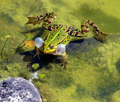 Frog, Mating Season, Spring, Croaking, Pond