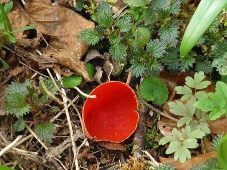 Mushroom, Orange-red Becherling, Rarely, Protected