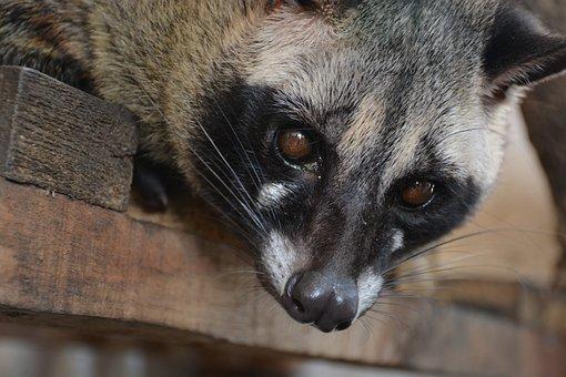 Civets, Animal, Animals, Nature