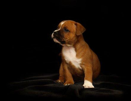 Puppy, Staffordshire Bull Terrier, Dog, Doggie, Animal
