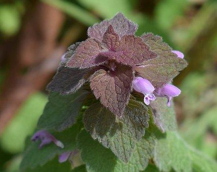 Purple Dead Nettle, Flower, Blossom, Bloom, Plant