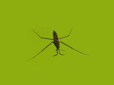 Gérrido, Sabater, Aquatic Insect, Walk On Water