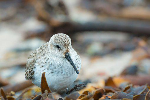 Sanderling, Calidris Alba, Helgoland, Bird, Beach