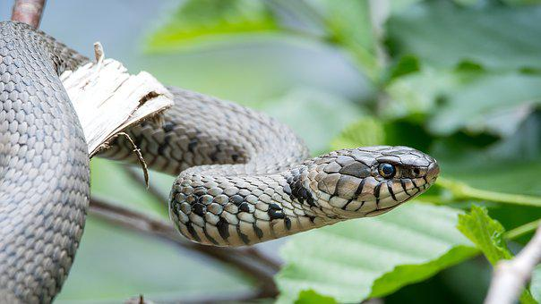 Grass Snake, Natrix Helvetica, Snake, Nature, Reptile