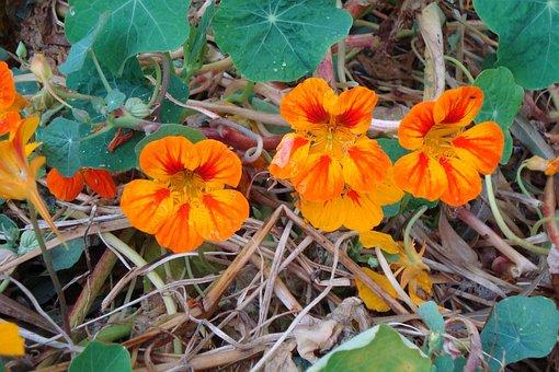 Nasturtium, Cress, Orange, Blossom, Bloom, Calyx, Straw