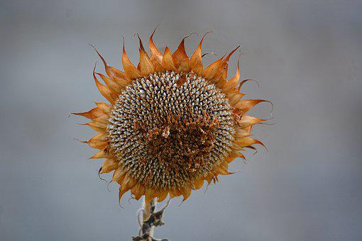 Wilted Flower, Sunflower Faded, Old Flower, Fall, Flora