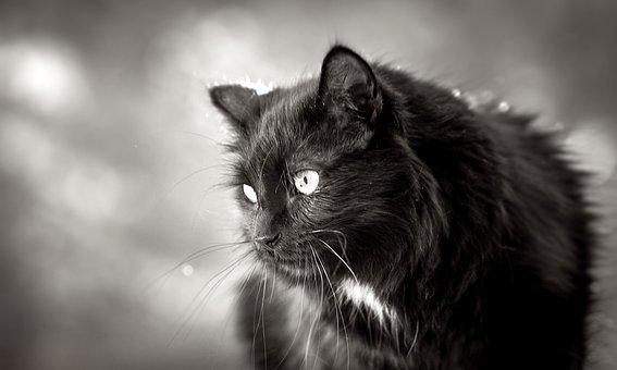 Predator, Cat, Claws, Jump, Hair, Black, Truffle
