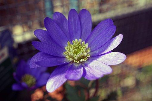 Frühlingsanemone, Anemone Blanda, Frühlingsblüher