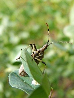 Coleoptera, Beetle, Cerambícido, Beetle Longicornio