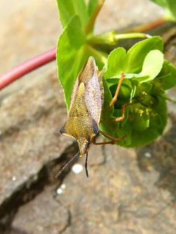 I Pentatomid, Dolycoris Baccarum, Beetle, Insect