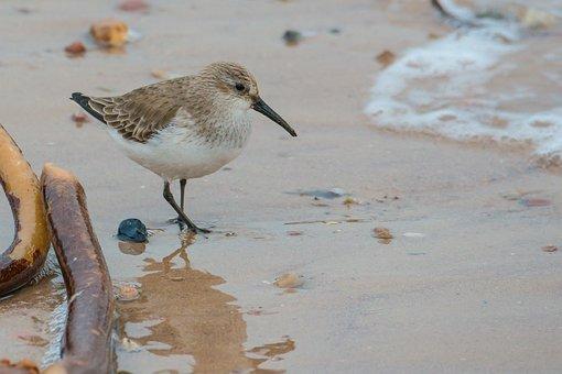 Sanderling, Bird, Calidris Alba, Helgoland, Water Bird