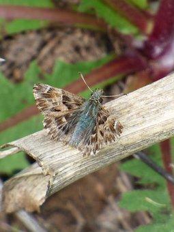 Carcharodus Alceae, Butterfly, Lepidopteran