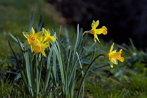Daffodils, Flowers, Yellow, Garden, Spring, Close