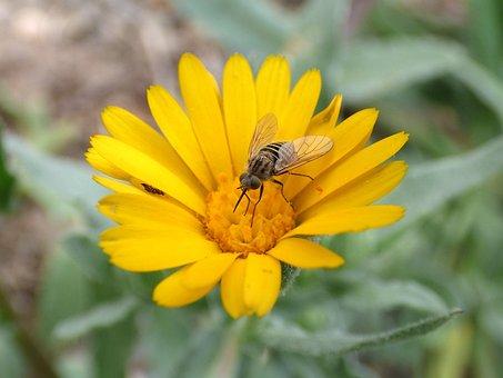 Hoverfly, Syrphidae, Libar, Daisy, Flower, False Wasp