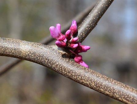 Eastern Redbud, Redbud, Tree, Flower, Blossom, Bloom