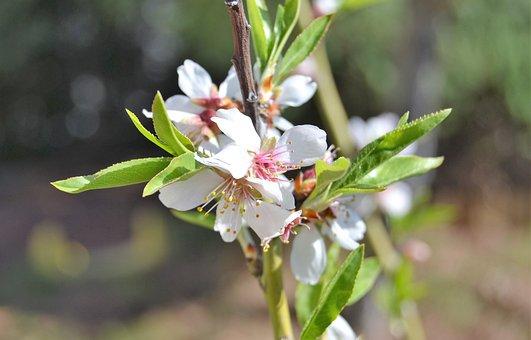 Almond Tree, Spring, Garden, White Flowers, Flowering