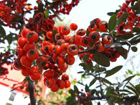 Fruit, Hawthorn, Fruits, Red Fruit, Mountain Fruit