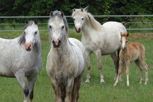 Welsh Ponies, Horses, Foal, Curious, Animals, Mare