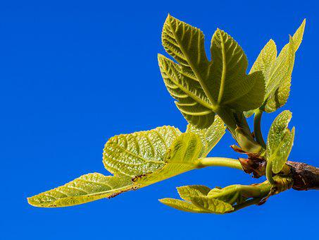 Fig Tree, Branch, Leaf, Plant, Nature, Mediterranean