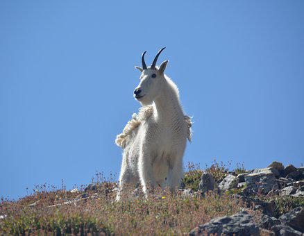 Goat, Mountain, Wild, Animal, Wildlife, Mammal, White