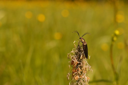 Comb Beetle, Beetle, Meadow, Nature Close Up View