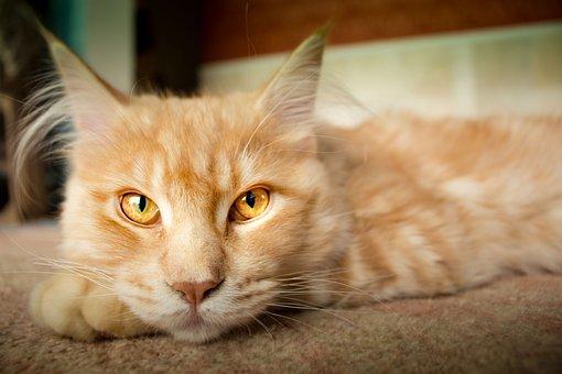 Cat, Concerns, Lynx, Pet, Mieze, Watch, Rest, Adidas