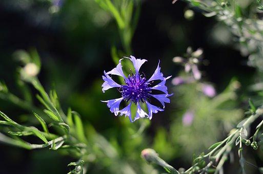 Centaurea, Flower, Flowers, Flora, Summer, Nature