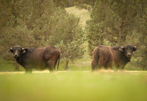 Hunting, Water, Buffalo, Nature, Wild, Wildlife, Animal