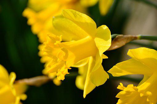 Daffodils, Osterglocken, Yellow
