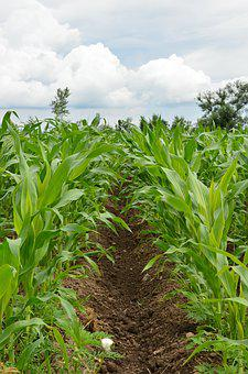 Corn, Field, Agriculture, Nature, Plant, Summer, Farm