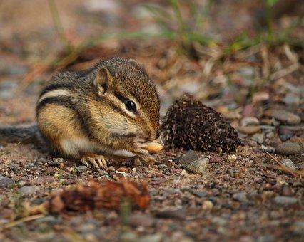 Chipmunk, Nibbling, Cute, Rodent, Eating, Wildlife