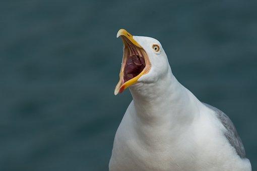 Gull, Scream, Screamer, Sadek, Throat, Herring Gull
