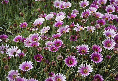 Flowers, Nature, Spring, Daisies, Seaside Daisy