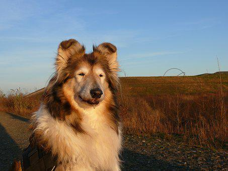 Collie, Dog, Purebred Dog, Sitting, Dump Hoheward