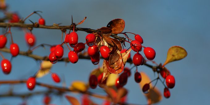Barberry, Berries, Autumn, Sky Blue, Red, Berry Red
