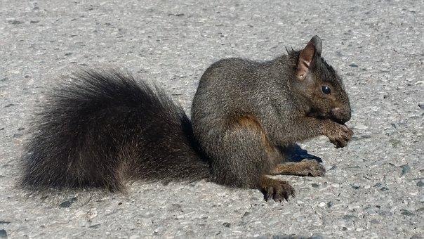 Black Squirrel, Squirrel, Tail, Nut, Furry, Black