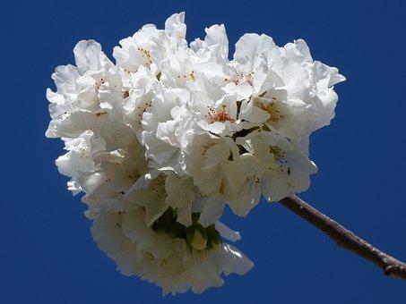 Flowers, Flowery Branch, Tree Fruit, Bloom, Spring