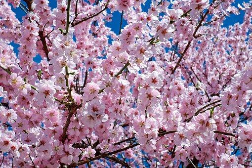 Japanese Cherry Trees, Flowers, Pink, Tree, Flower Tree