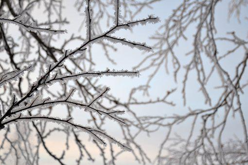 Branch, Tree, Nature, Birch, Trees, Forest, Winter