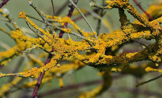 Yellow Lichen, Weave, Laubflechte, Bush, Brush Braid