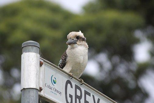 Kookaburra, Sacred Kingfisher, Australia, Bird