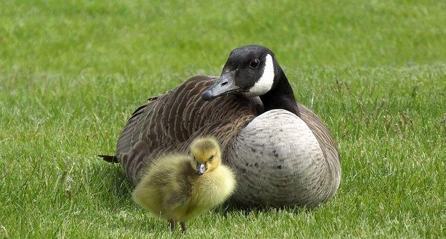 Duck, Shell, Chick, Birds, Grass, Green, Nature, Meadow