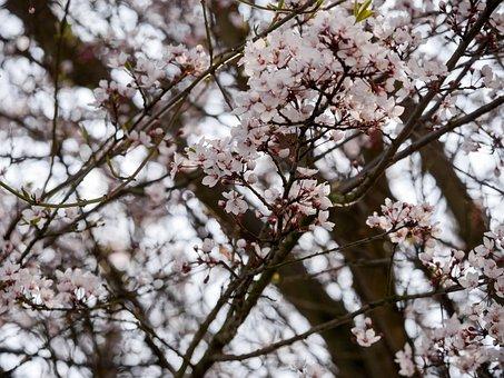Spring, Blossom, Bloom, White, Cherry Plum, Tree