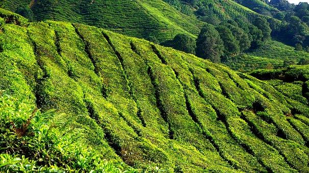 Tea Plantation, Green, Field, Plantation, Nature