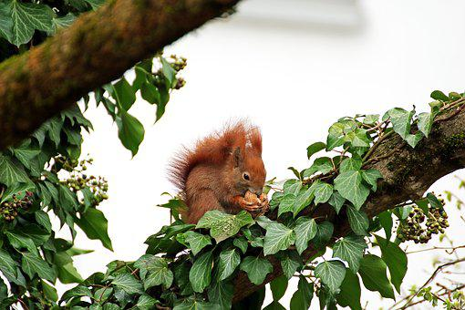 Squirrel, Rodent, Branch, Ivy, Nut, Nibble, Fur, Leaves